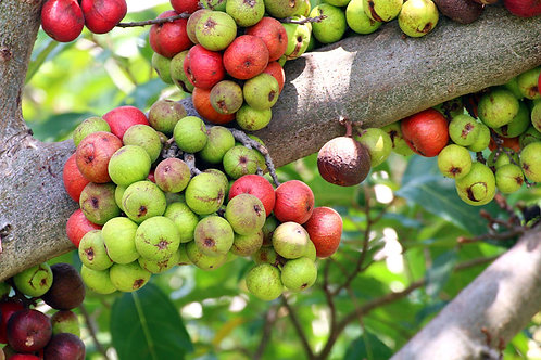 Ficus racemosa Fig Tree Seeds