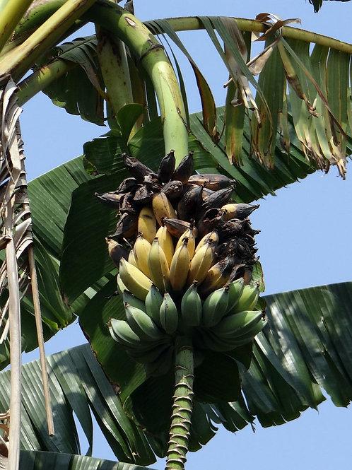 5 Seeds -Dwarf Cavendish Banana - Musa acuminata subsp burmannica seeds