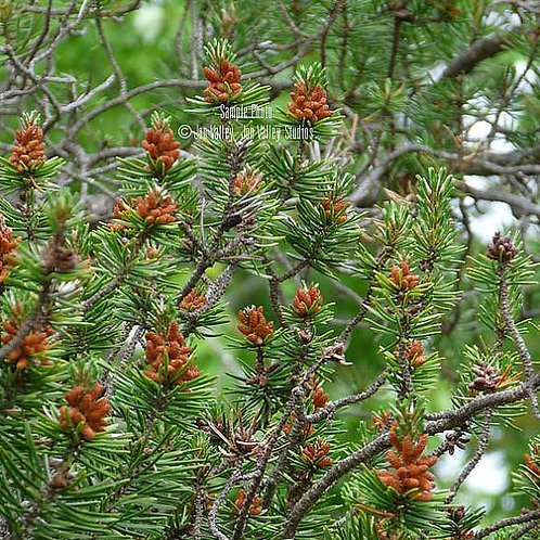 Pinus banksiana Jack Pine Tree Seeds