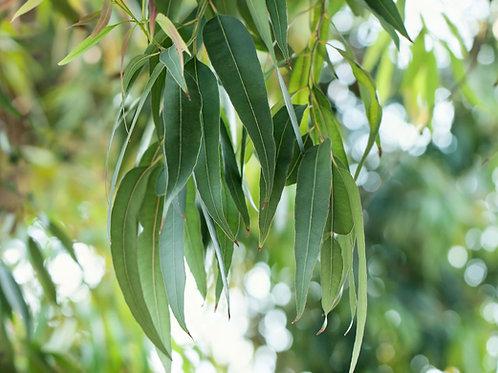 Eucalyptus saligna Sidney Blue Gum Seeds 25 Seed Pack