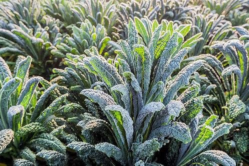 Black or Dinosaur Kale Premium Vegetable Seeds