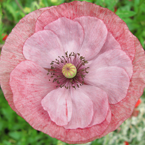 Shirley Poppy Mixed Double Flower - Premium Seeds Papaver
