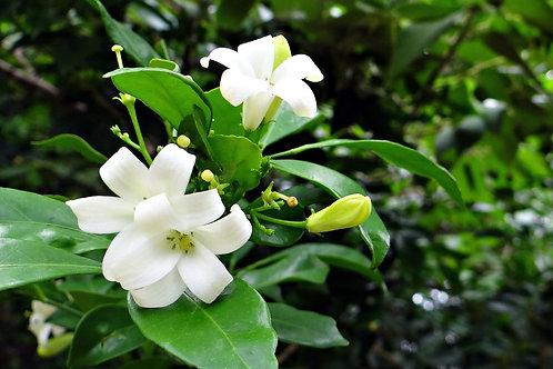 Murraya paniculate Orange Jasmine 5 Seeds
