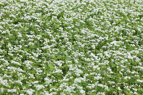 100 Seeds Starter Pack Organic Buckwheat Ancient   Grain -Grow your own Flour!