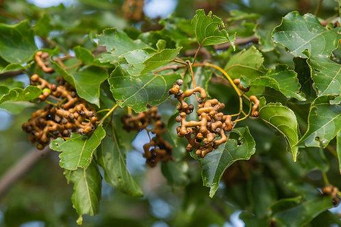Hovenia dulcis Oriental Raisin Tree Seeds