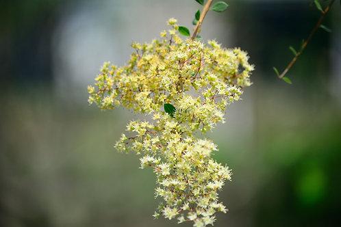 Lawsonia inermis Tattoo Plant Tropical Seeds