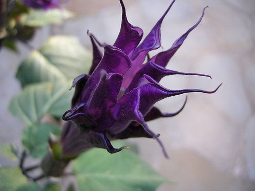 Datura Single Flower Purple Moonflower  seeds