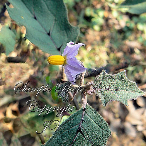 Solanum undatum var violaceum Asian Nightshade 10 seeds