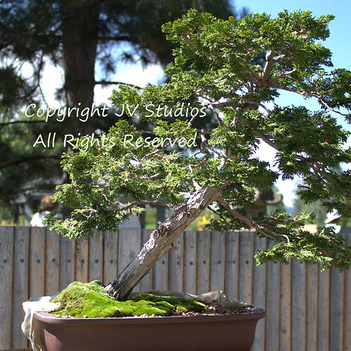 Chamaecyparis obtusa Hinoki Cypress seeds
