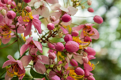 Cassia javanica subsp. nodosa Pink Rose Tree Seeds