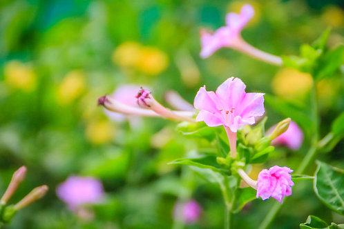 Serendipity's 4 O'clock Pink Flower Seeds Four o clock