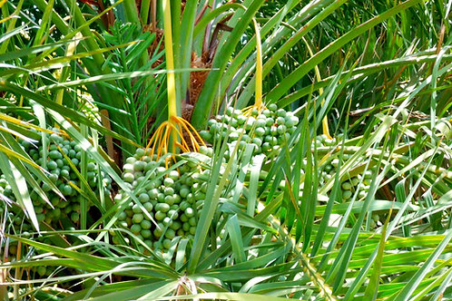 Phoenix rupicola - Cliff Date Palm seeds-Tropical Container Gardening