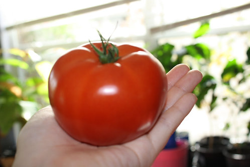 Red Beefsteak Heirloom Tomato Seeds OP Non GMO