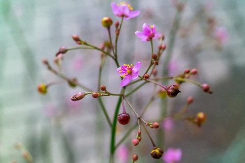Talinum paniculatum - Jewels of Opar - Heirloom - 50 Premium seeds
