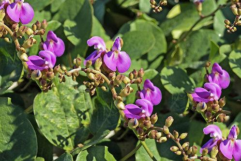 Canavalia virosa Magic Bean Kaattuthambattan Rare Seeds