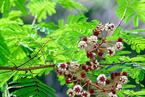 Acacia concinna Shakaki Soap Bush 5 Seeds RARE