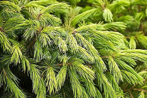 Picea smithiana Himalayan Spruce Tree Seeds