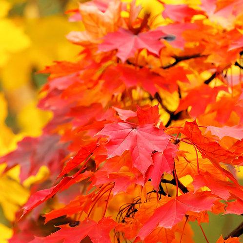Acer rubrum Water Maple seeds