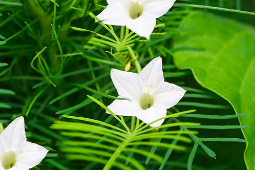 Ipomoea quamoclit White Cypress Vine Flower Seeds