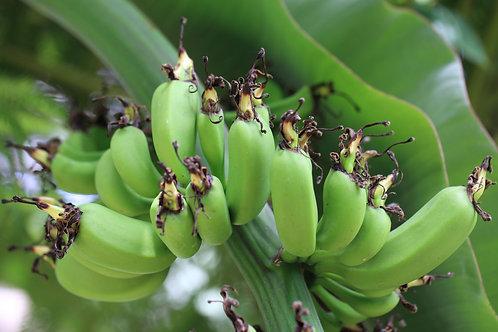 Musa acuminata Dwarf Cavendish Banana 5 seeds