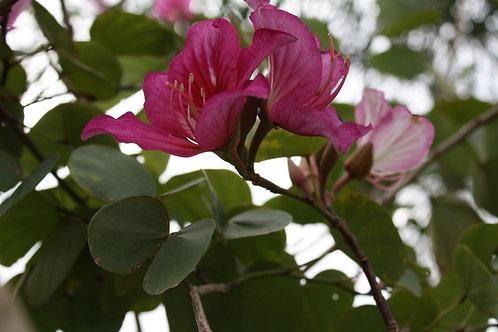 Bauhinia purpurea Purple Orchid Tree seedsHummingbirds and Butterflies Love