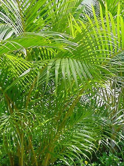 Chrysalidocarpus lutescens Areca Palm 10 Seeds