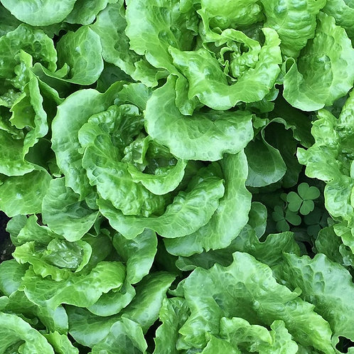 250 SEEDS -Tom Thumb Butterhead Lettuce --Heirloom -Beautiful color