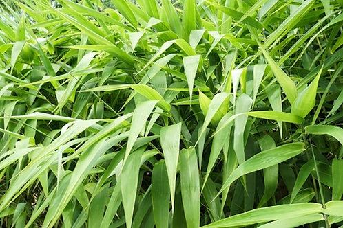Thysanolaena maxima Tiger Broom Grass Seeds