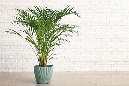 5 Seeds -Acai Palm- Euterpe oleracea