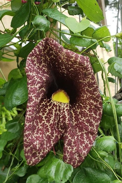 5 Seeds -Aristolochia gigantea-Tropical-Dutchman's Pipe