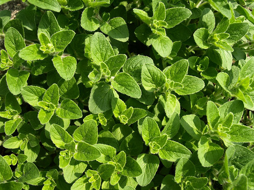 Oregano Herb Seeds -Market or Home Gardening -Potted Plant seed Non GMO