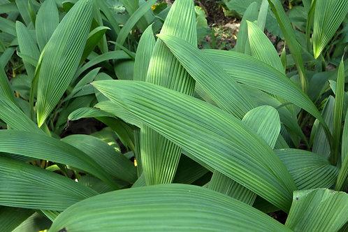 20 SEEDS - Palm Grass - -Curculigo recurvata -Molineria capitulata-very rare