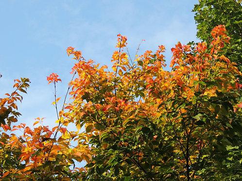 Acer henryi Henry Maple Seeds Bonsai