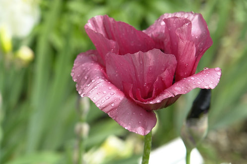 Giant Purple Poppy Premium Seeds Papaver somniferum var giganteum
