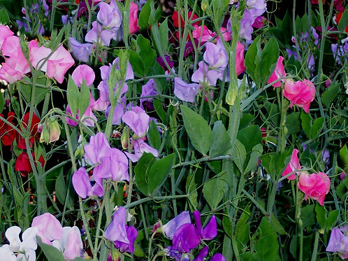 Sweet Pea Royal Mix Rainbow Flowers Seeds