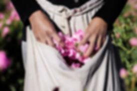 Récolte de pétales de rose de Damas Nüssa