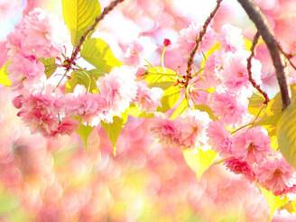Cherry Blossom Chic