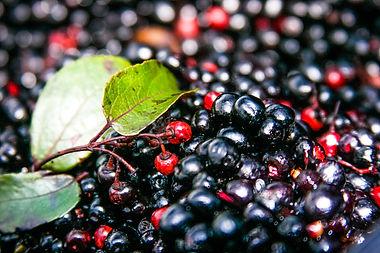 Maqui Harvest-15.jpg