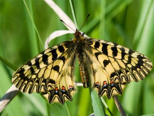 Faunu Slavkova obohatil nový druh motýla
