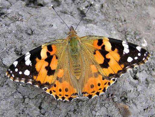 Motýlí cestovatel-rekordman
