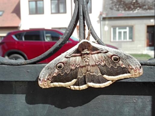 Martináč hrušňový – největší evropský motýl