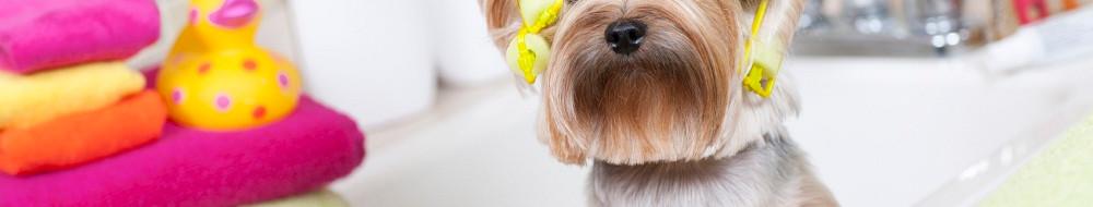 stock-photo-21466608-yorkshire-terrier-w