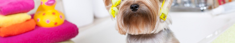 stock-photo-21466608-yorkshire-terrier-w
