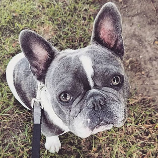 Stud muffin 😍_#frenchie #frenchbulldog
