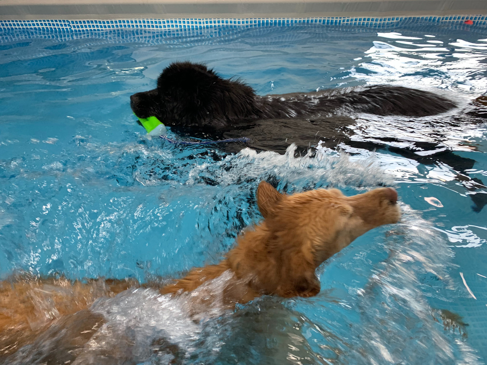 indoor dog park swimming pools for dogs sf bay area dog pool club