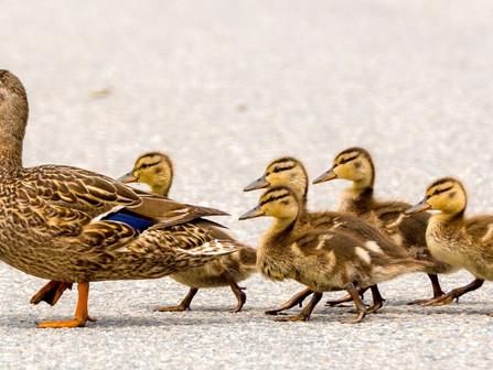 Nashville Duck Sightings