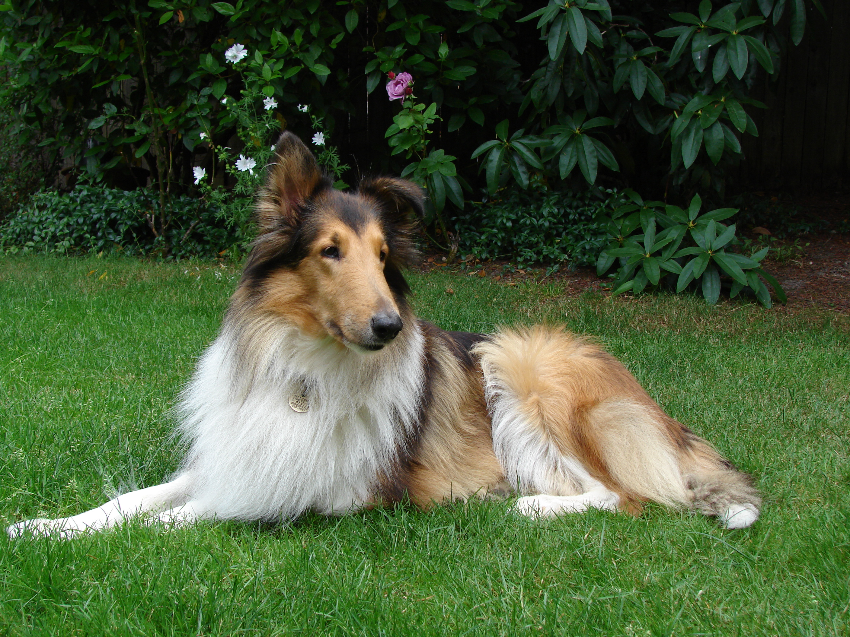 ec dog collie.jpg