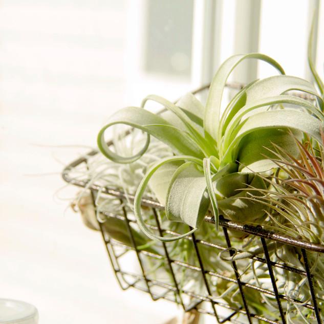basket of airplants.jpg