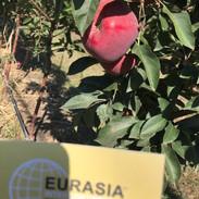 Eurasia Apple Orchard Ukraine.JPG