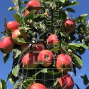 Eurasia Apples in Ukraine.JPG